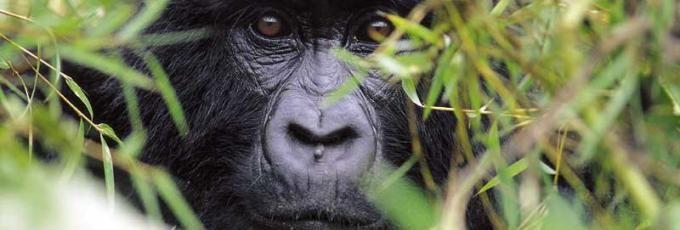 Come face to face with Mountain Gorillas at Sabyinyo Silverback Lodge, Rwanda