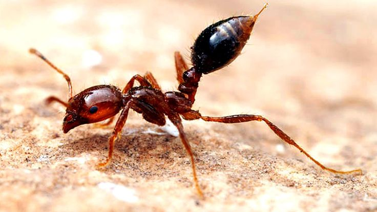 Fire Ants - An import from South America, fire ants have an intensely painful and burning sting. Even worse, fire ants attack in mass when disturbed. The stings cause a painful wound that turns into a pustule, which can become infected and tends to itch while it heals.