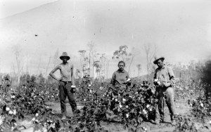 Russian immigrants tending their cotton crop, Queensland (undated). John Oxley Library, State Library of Queensland