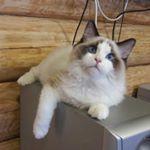 """46 Likes, 2 Comments - Viktor Koshilov (@sale_kittens_ragdoll) on Instagram: """"#крым #крымнаш #ялта #симферополь #рэгдолл #питомниккошек #питомник #котята #кошка #кот #котёнок…"""""""
