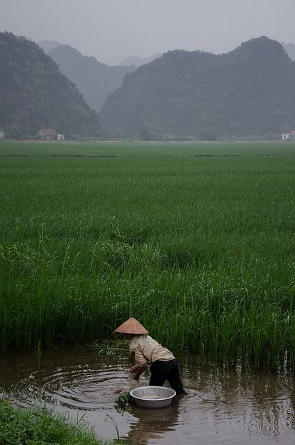 Another rice paddy in Vietnam. An iconic symbol that comes to mind when people hear about Vietnam.