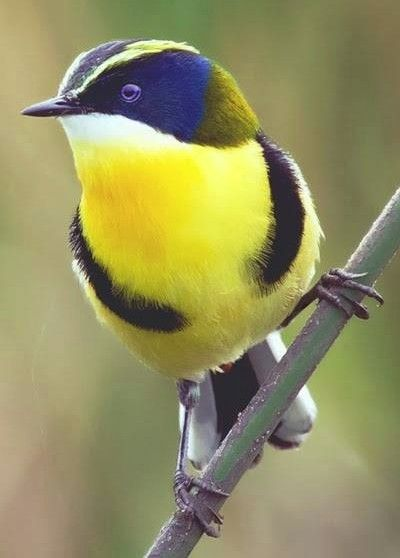 The Many-coloured rush tyrant (Tachuris rubrigastra) or Many-colored rush tyrant is a small passerine bird of South America belonging to the tyrant flycatcher family. It is the only member of the genus Tachuris and its relationships with the other members of the family are uncertain.