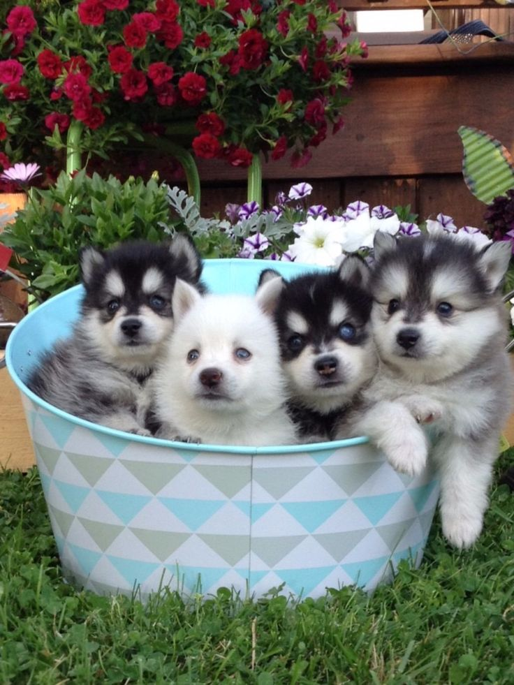 Lush Pomsky Puppies Review - Wisconsin Pomsky Breeder