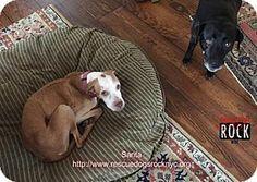 New York, NY - Pit Bull Terrier Mix. Meet Sarita, a dog for adoption. http://www.adoptapet.com/pet/17410997-new-york-new-york-pit-bull-terrier-mix