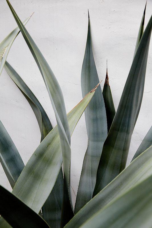 Gran agave, su mejor fondo es el elegido, la pared blanca, como las de las casas antiguas encaladas.