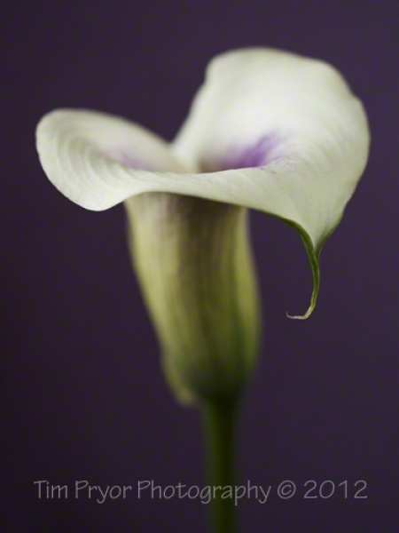 "Tim Pryor - This is a beautifully delicate Calla Lily who's flower shows an element of romance. The image is available as a 14"" x 10"" Limited Edition Fine Art Print (3/250). I only use the best fine art paper available which is a natural white Hahnemühle ""William Turner"" mould paper (matt, 310 g/m²). It comes with a white border for ease of mounting. This paper produces excellent image sharpness and brilliant colour grading providing a fabulous textured finish.    £45.00"