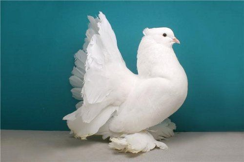 White Indian Fantail Pigeon