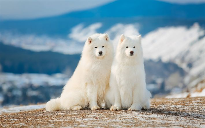 Download wallpapers Samoyeds, white fluffy dogs, Siberia, lovely white dogs, pets, Samoyed dog