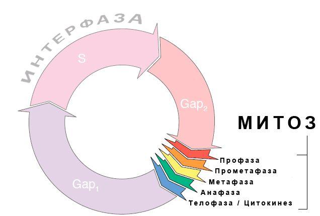 клеточный цикл, митоз