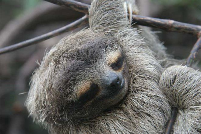 Sloth Facts: Habits, Habitat & Diet