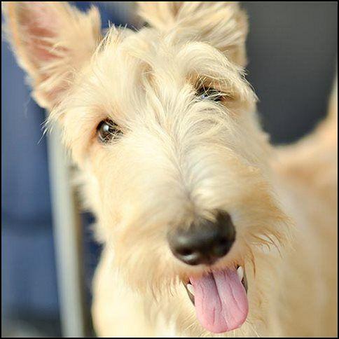 Scottish terrier o terrier escocés (6)