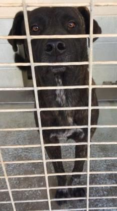 MAJOR located in Bastrop, TX To be destroyed 12/09/2016 Adopt him now!