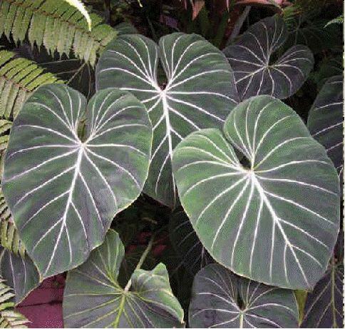 Philodendron gloriosum buy