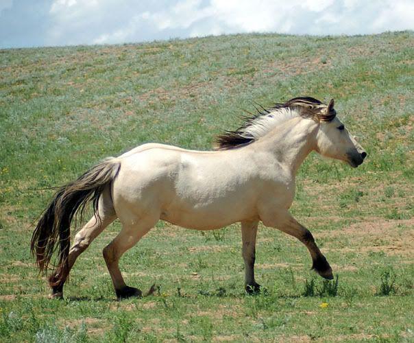 157 best Horse Color Galore Dun images on Pinterest