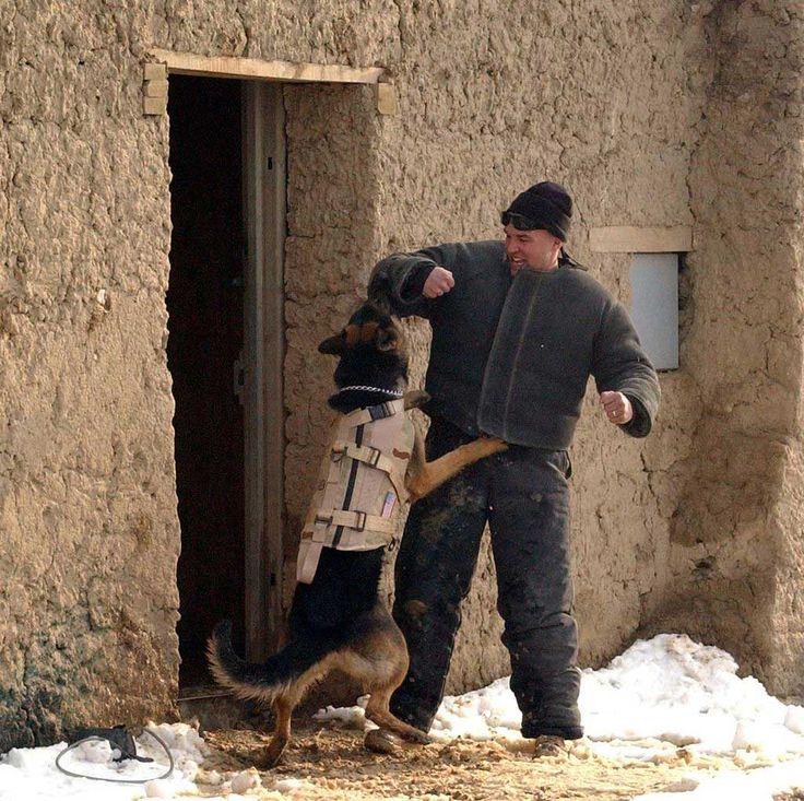 Utilizar collares eléctricos para adiestramiento, y su efecto a corto y largo plazo en perros pastores alemanes de protección. Estudio científico.
