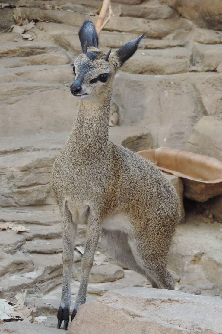Klipspringer (Oreotragus oreotragus), Eastern and Southern Africa