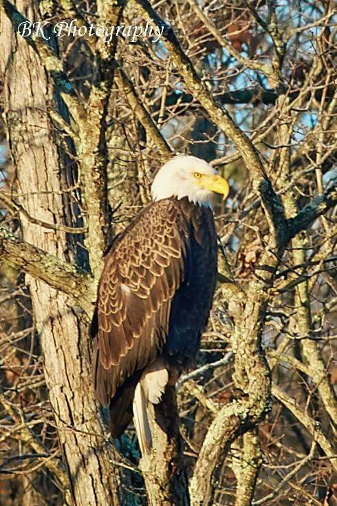 West Virginia Bald Eagle by BK Photography