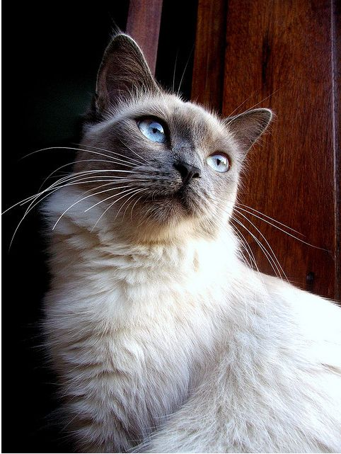 blue point siamese ...Cat face!