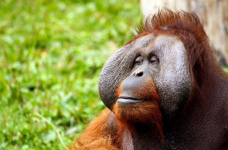 Bornean Orangutans have now joined their Sumatran cousins on the IUCN's critically endangered list. The main driver behind their decline - deforestation due to the expansion of palm oil production in their habitats. Buying certified sustainable palm oil (CSPO) can keep the Bornean Orangutan's forest homes intact and help to bring this species back. #PalmOil