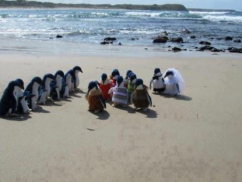 Matrimonio pinguino