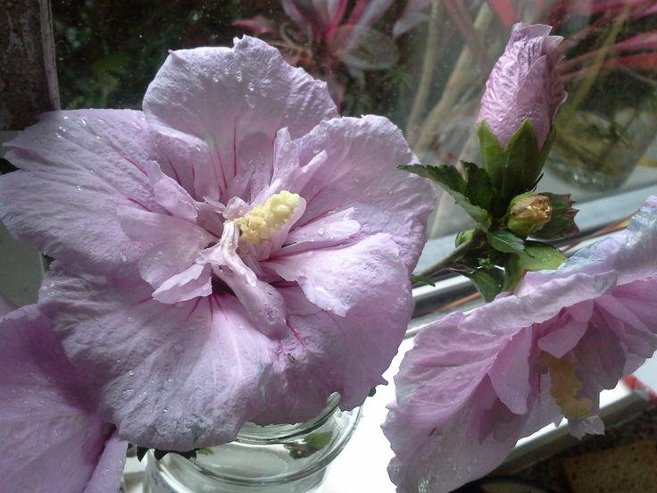 Hibiscus gift - rainy morning windowsill