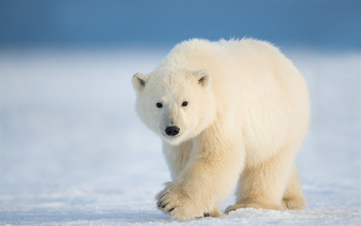 Download wallpapers polar bear, Antarctica, white bear, predator, snow, ice