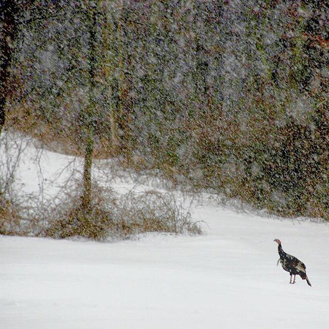 Wild turkey on my property during last week's snow storm. Long shot with my #Nikon from the warmth of my living room. Almost all the snow in the way back has melted now.  .  .  #wildturkey #wildlife_perfection #nature_nj #njwoods #marchmadness  #mycottage  #openspace #tomturkey #audubonsociety #turkeytuesday #nohunting #wildnj