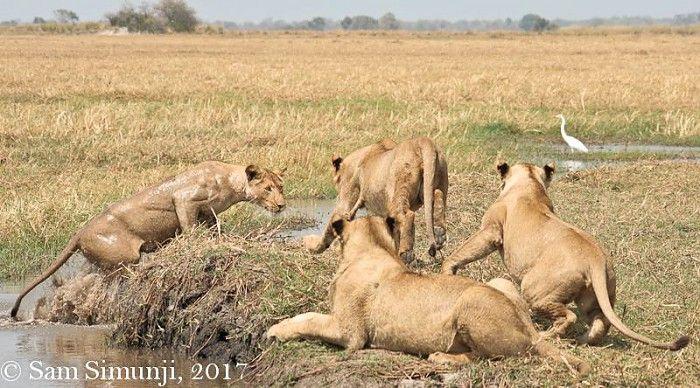 The swimming lions of Busanga #Zambia #safari