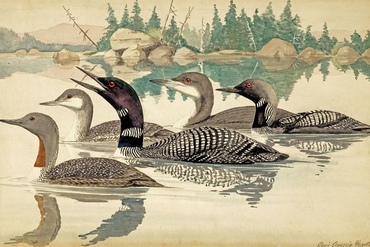 Louis Agassiz Fuertes Red-Throated Loon, Common Loon, Arctic Loon