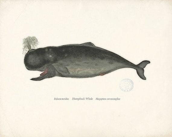 .: Prints 8X10, Whales Illustrations, Natural History, Antiques Whales, Antiques Humpback, Antiques Illustrations, Humpback Whales, Illustrations Antiques, Decor Prints