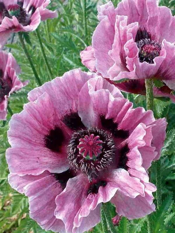 Poppy, Manhattan - Papaver orientale 'Manhattan'