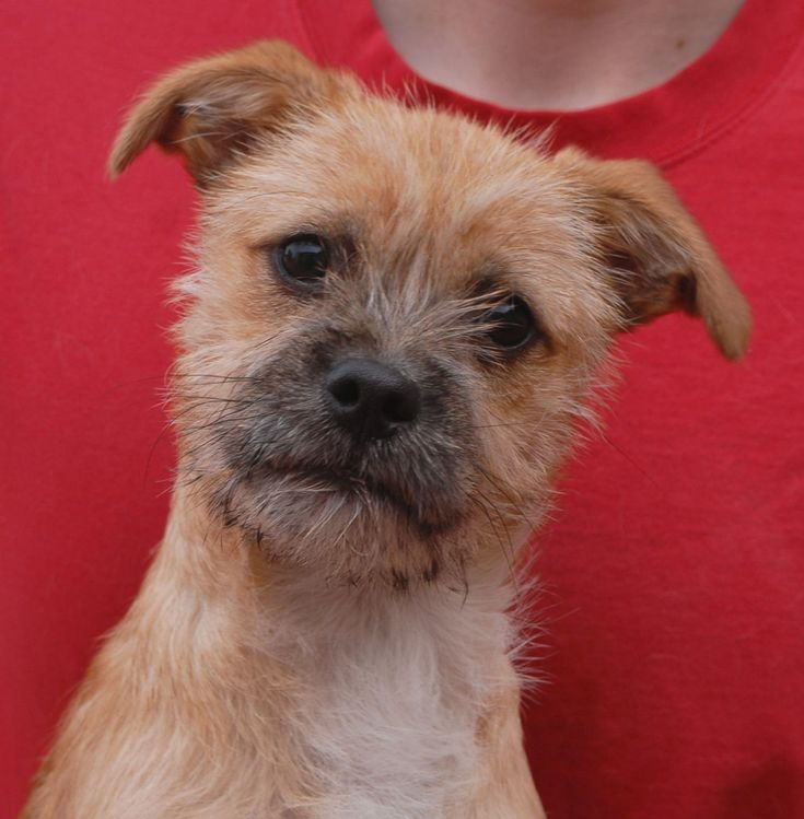 Pogo is a Norfolk Terrier mix puppy with a robust, fun-loving spirit and he's debuting for adoption this morning at Nevada SPCA (www.nevadaspca.org). Pogo is about 6 months of age, a neutered boy, great with dogs, and reportedly socialized with cats too in his previous home. Please set aside plenty of quality playtime and exercise for him daily.