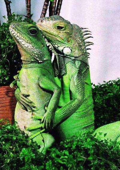 "Iguanas:  ""You didn't call, like you promised--I'm not talking to you..."" ""Well--baby...Let me make it up to you..."""