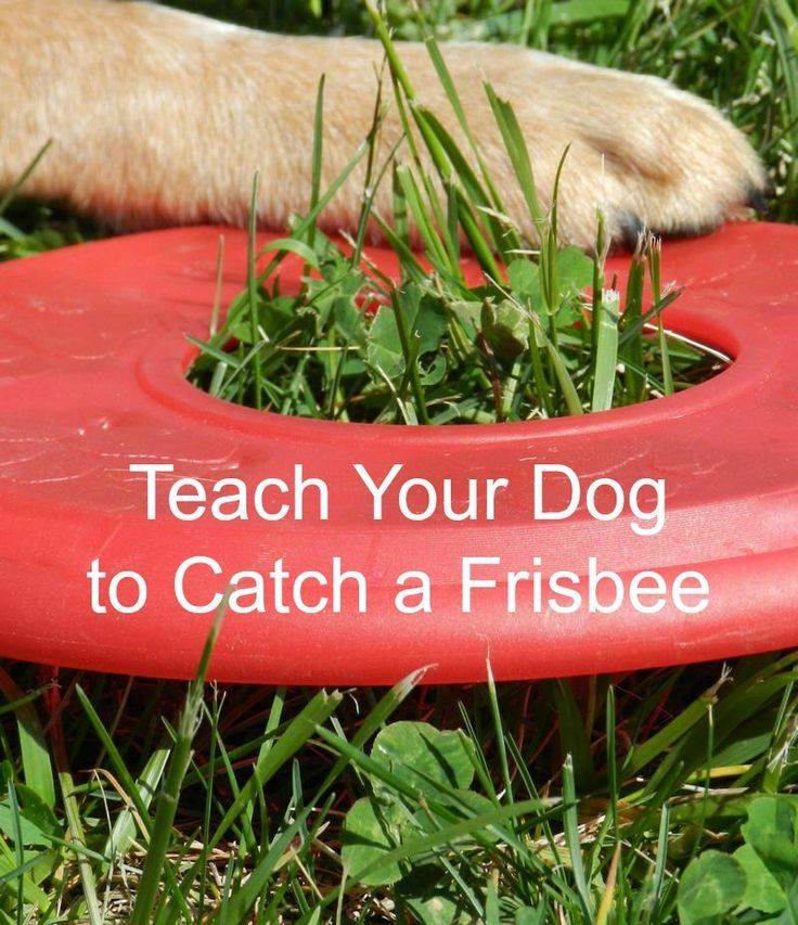 These Dog Training Tips will help you teach your dog how to catch a Frisbee so you can enjoy hours of fun bonding time and exercise!