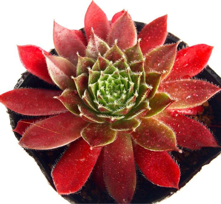 『【ジャンヌダルク】 紅葉するセンペルが今の時期は、おすすめです。 そんな中から、本日の一枚。(美の巨人風) 艶のあるジャンヌダルク。 #ジャンヌダルク #センペルビウム #sempervivum #多肉植物 #succulents #観葉植物 #vistajapan #楽天』多肉植物専門店ビスタさんが投稿したビスタ,多肉植物,多肉男子,月間優良ショップ,観葉植物,3ヶ月連続月間優良ショップ 楽天,通販専門店,ビスタ産,多肉女子,タニラー,センペルビブム,花のある暮らし,楽天,アウトドアリビング,埼玉県深谷市,バルコニスト,バルコニー/ベランダの画像です。 (2017月12月22日)
