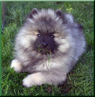 Initially, this type of dog was known as the Barge dog because they were often kept onboard barges that plied the canals. Other popular nicknames for the Keeshond is The Smiling Dutchman because of their natural alertness and what appears like a smile.