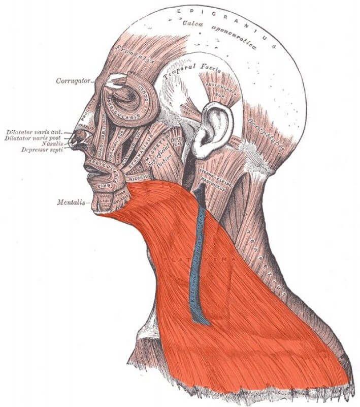 Подкожная мышца шеи (плятизма): секрет молодой и здоровой шеи