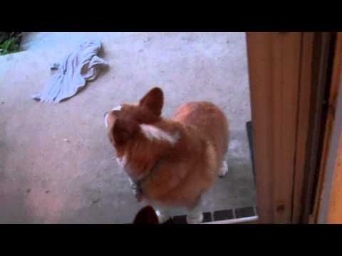 Corgis and doors - YouTube