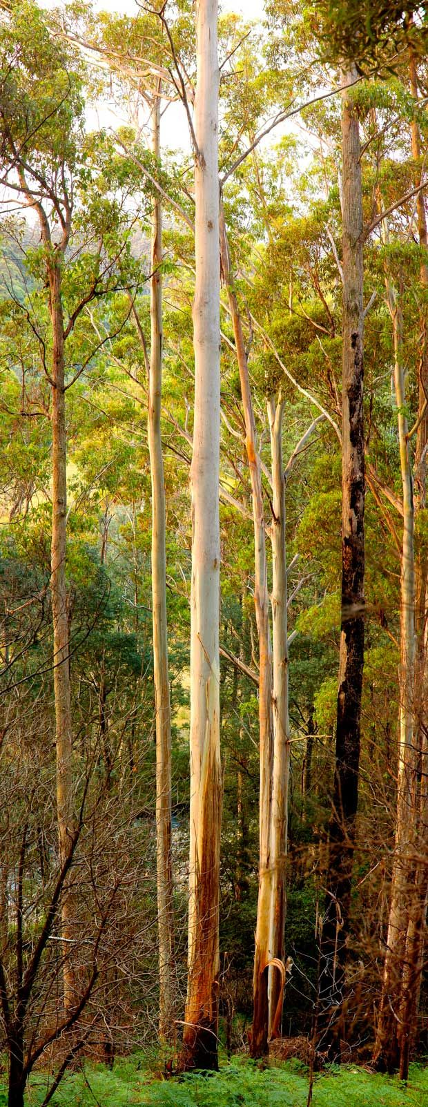 The manna gum (Eucalyptus viminalis) - the tallest is in Tasmania and stands at 89m.