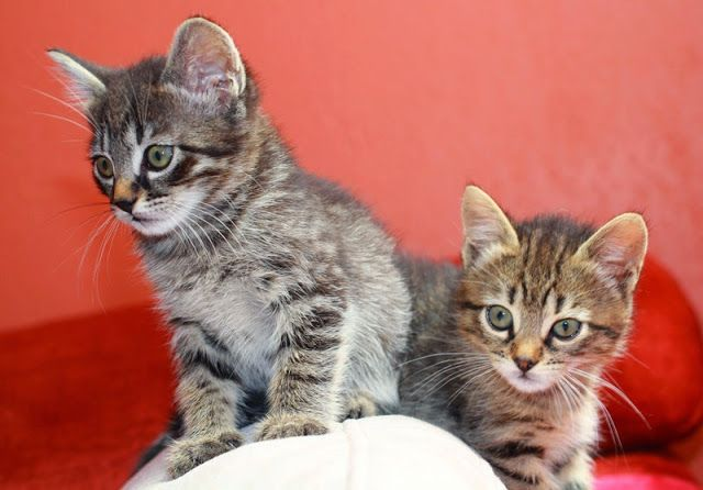 Does It Matter What Age You Neuter Your Kitten Kitten Care Kittens Cats Kittens