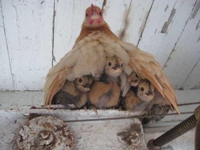 """Pour mieux comprendre l'expression """"Mère-Poule"""" ... / Hen-Mum and her chicken..."""