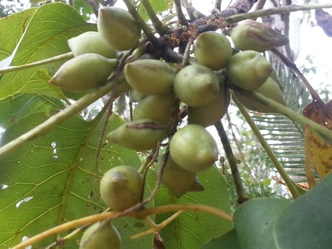 Kakadu Plum grows wild in parts of Australia's Northern Territory. With the highest vitamin C content of any single natural food, Kakadu Plum gives Native Natural Skin Care products outstanding antioxidant benefits. Visit www.nativenaturalskincare.com.au to find out more.
