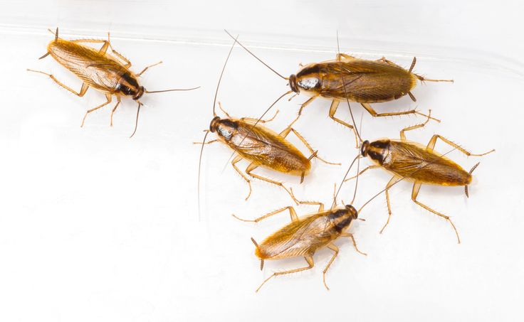Baby roaches are anything but cute and lovable. In fact, they can be your home's worst nightmare if you do not take them seriously. You can keep your home safe and sanitary and also keep a possible infestation at bay by knowing what to do when you see baby roaches in kitchen, bathroom or other areas of your house, which we also covered extensively in our main guide of how to get rid of cockroaches.