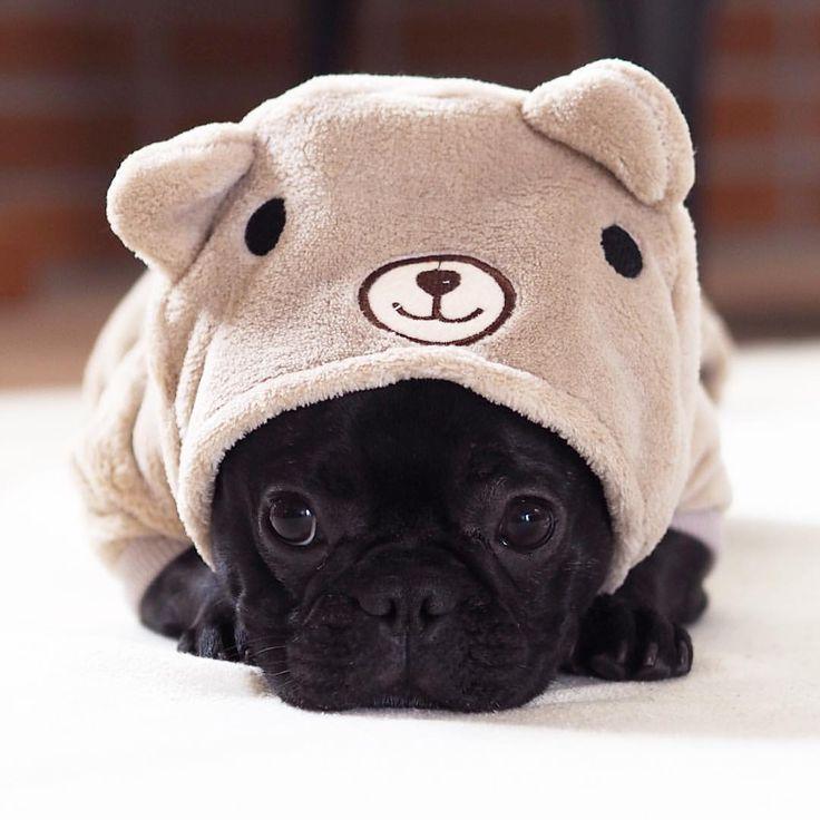 Einfach zum Verlieben!! <3 © @hokus_theo | instagram.com | #Französische Bulldogge #FrenchBulldog