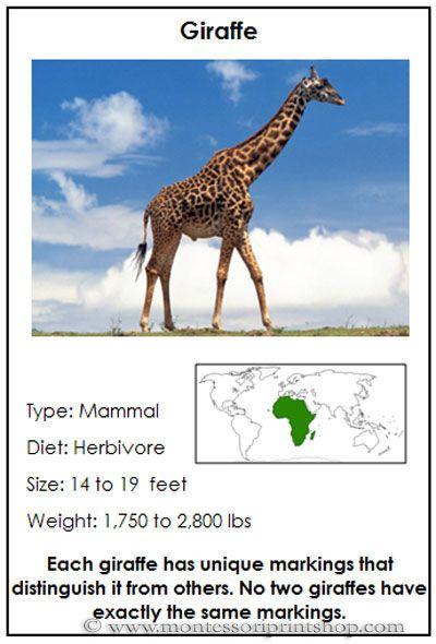 25+ best ideas about Giraffe information on Pinterest | Giraffe ...