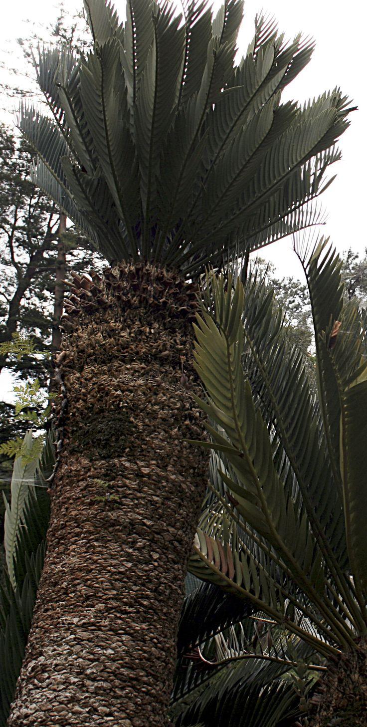 Encephalartos prinseps