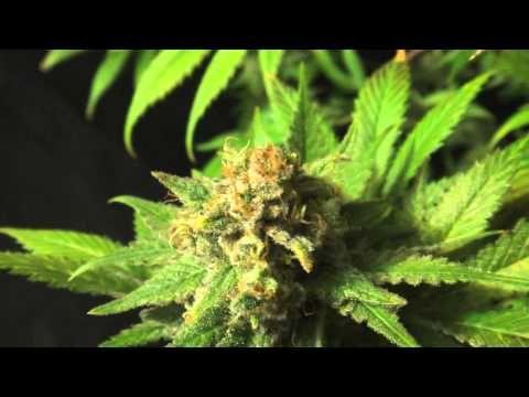 Eldorado, Mexican Sativa Marijuana from Nirvana Seeds - YouTube