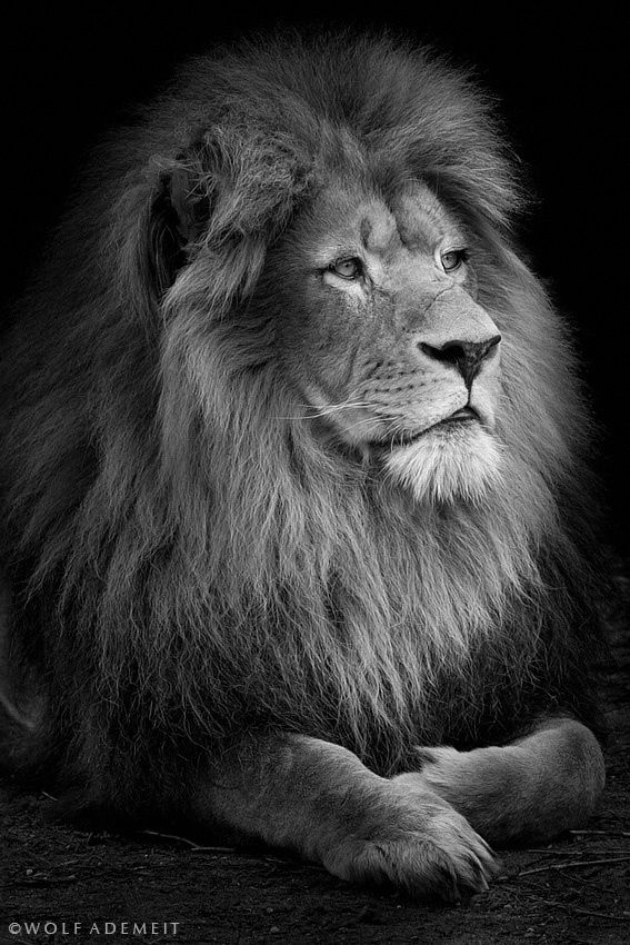 proud lion by wolf ademeit animal magnetism pinterest king photos and wolves. Black Bedroom Furniture Sets. Home Design Ideas