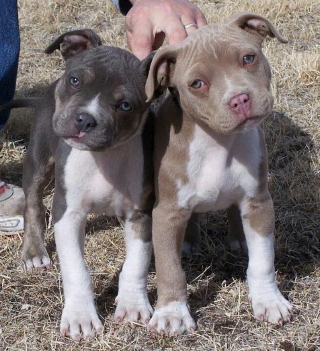 Pit Bull puppies - Makes me think of Thrall and Piper!
