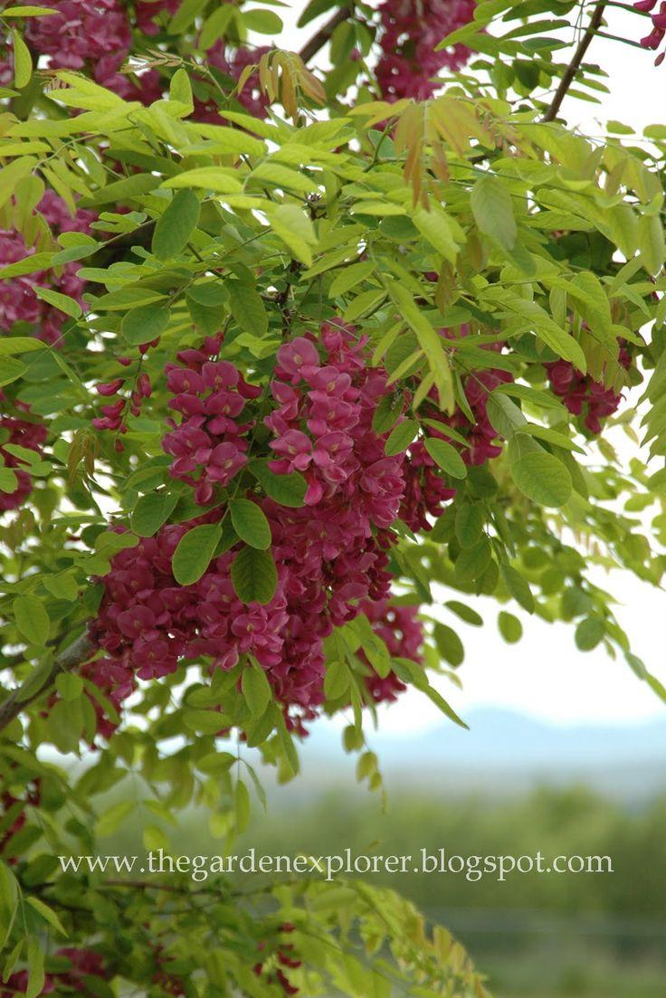 7 best ornamental tree for back yard images on pinterest